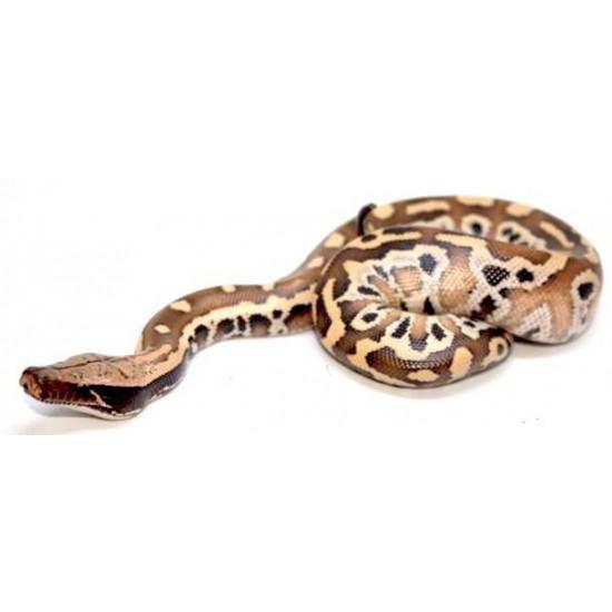 Python brongersmai - Python malais