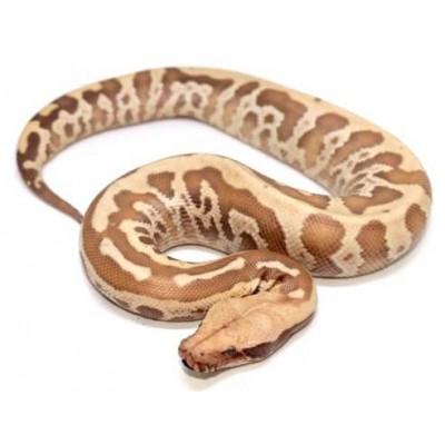 "Python brongersmai ""Albinos T+"" - Python malais"
