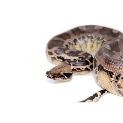"""Python curtus """"Chrome-head"""" - Python à queue courte de Sumatra"""