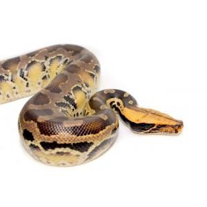 """Python curtus """"Yellow-head"""" - Python à queue courte de Sumatra"""