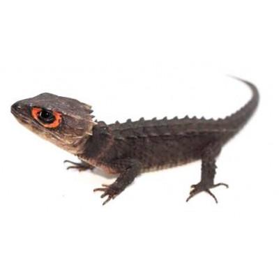 """Risultato immagini per tribolonotus gracilis"""""""