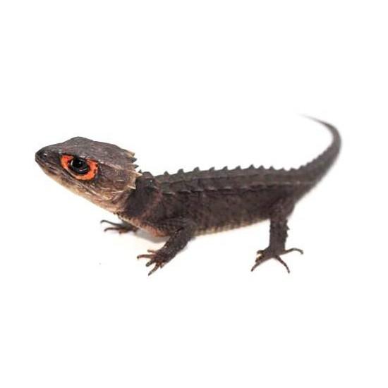 Tribolonotus gracilis - Scinque crocodile
