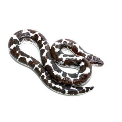 "Eryx (Gongylophis) colubrinus loveridgei ""Anéry"" - Boa des sables du Kenya"