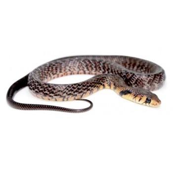 Drymarchon melanurus erebennus - Serpent indigo du Texas
