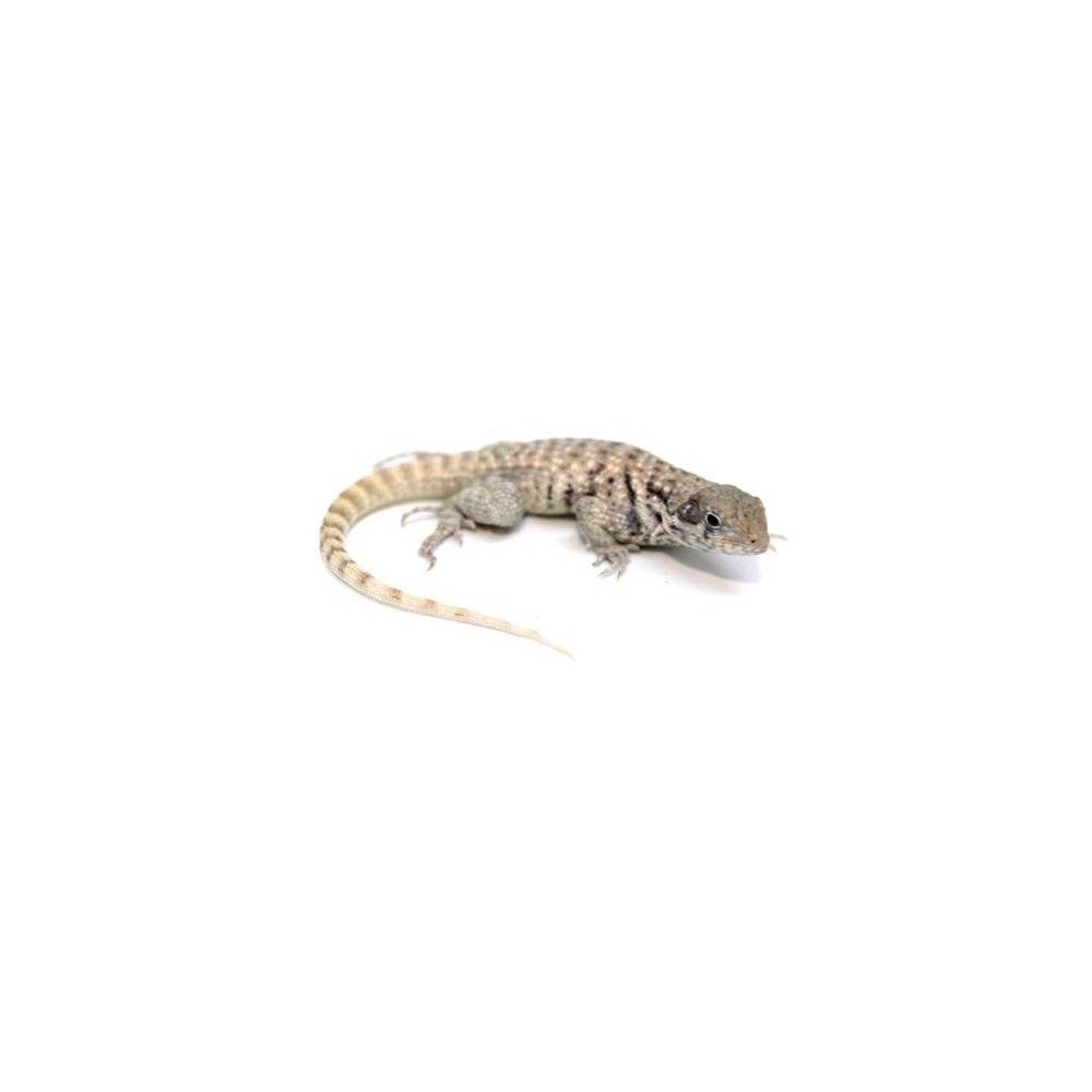 Leiocephalus carinatus - Lézard à queue bouclée
