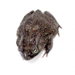 Amietophrynus (Bufo) regularis - Crapaud panthère