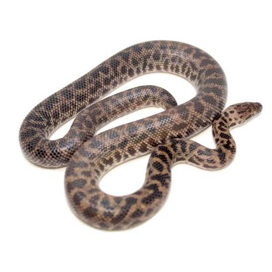 Antaresia maculosa - Python moucheté