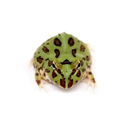Ceratophrys cranwelli - Grenouille Pacman