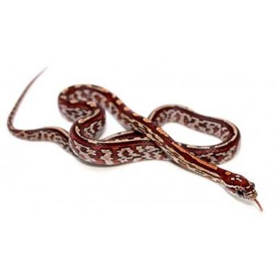 "Pantherophis guttatus ""Tessera"" - Serpent des blés"