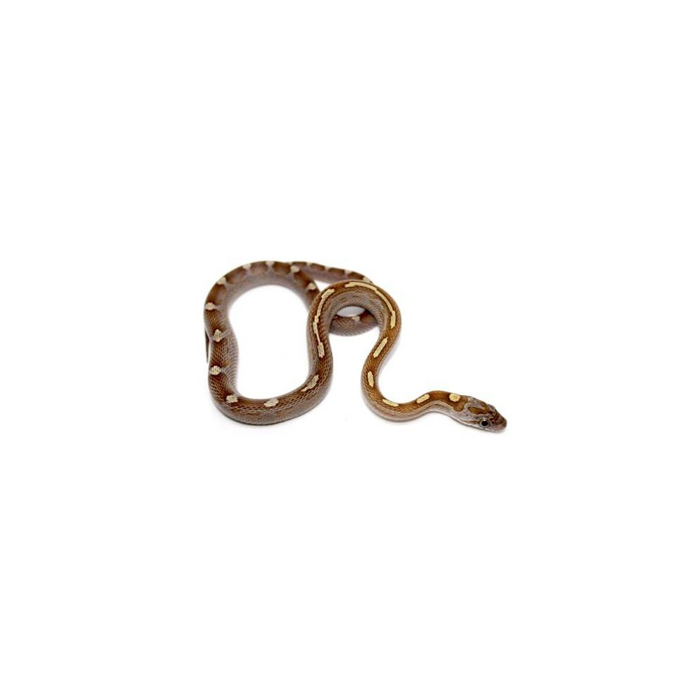 "Pantherophis guttatus ""Caramel motley ligné"" - Pantherophis guttatus"