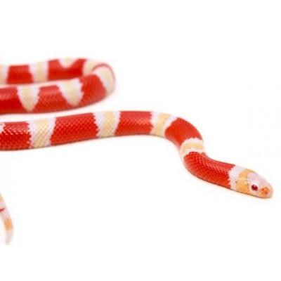 "Lampropeltis triangulum hondurensis ""Albinos"" - Faux-corail du Honduras"