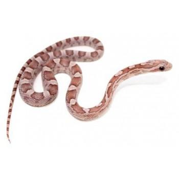 """Pantherophis guttatus """"Lavender"""" - Serpent des blés"""