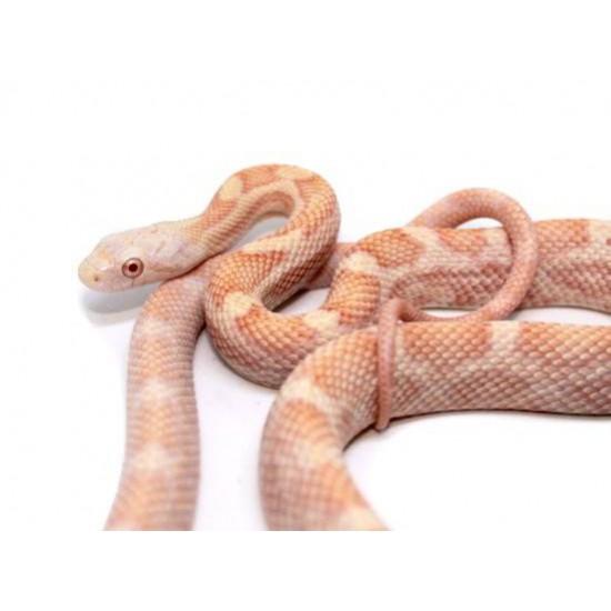 "Pantherophis (Elaphe) obsoletus rossalleni ""Albinos"" - Serpent ratier"