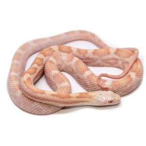 "Pantherophis obsoletus ""Albinos"" - Serpent ratier"