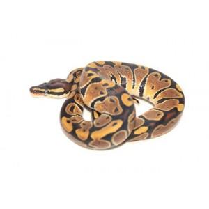 Python regius - Python royal