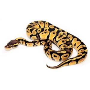 "Python regius ""Pastel"" - Python royal"