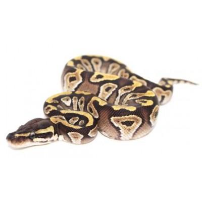 "Python regius ""Mojave"" - Python royal"