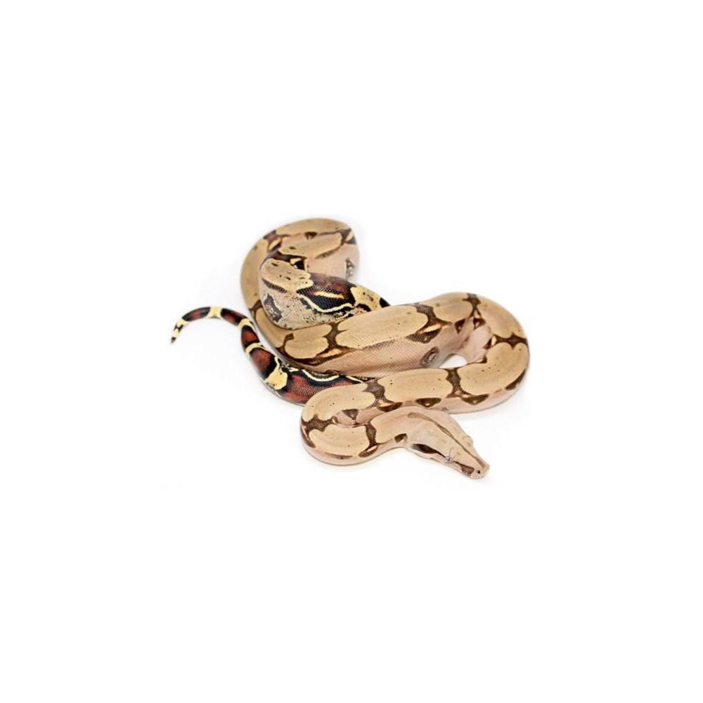 """Boa (constrictor) constrictor """"Pucallpa"""" - Boa constricteur"""