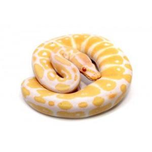 """Python royal """"Albinos"""" - Python regius"""