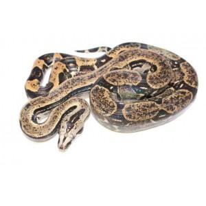 Boa constrictor longicauda - Boa à longue queue