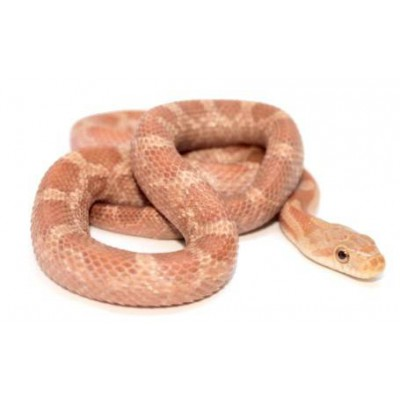 "Pantherophis (Elaphe) obsoletus ""Hypo"""