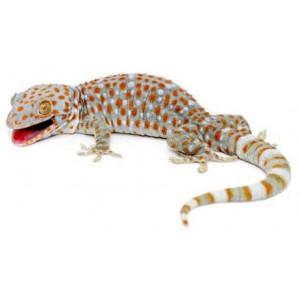 Gekko gecko - Gecko tokay
