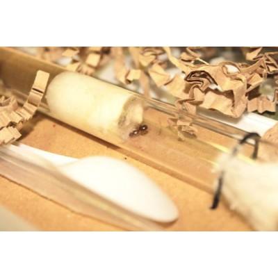 Kit à fourmis - Pheidole pallidula