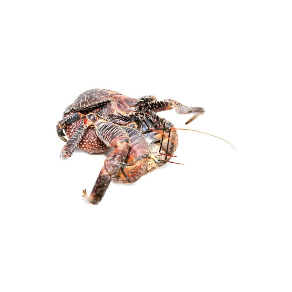 Birgus latro - Crabe des cocotiers (Bernard l'hermite)