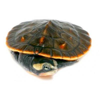 Emydura subglobosa - Torture à ventre rouge