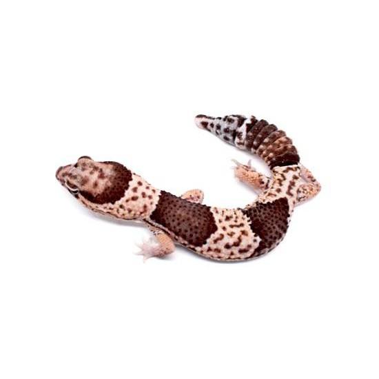 Hemitheconys caudicinctus - Gecko à queue grasse