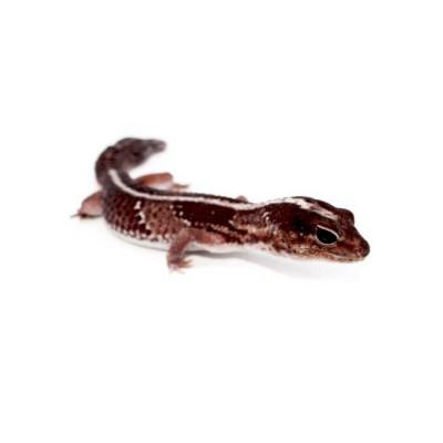 "Hemitheconys caudicinctus ""Ligné"" - Gecko à queue grasse"