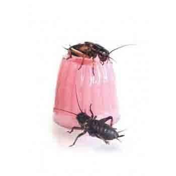 Calcium Jelly Pots Komodo