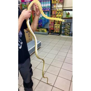 """Orthriophis taeniurus frisei """"Albinos""""- Serpent ratier de Taïwan"""
