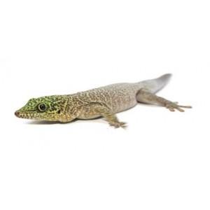 Phelsuma standingi -Gecko diurne de Standing