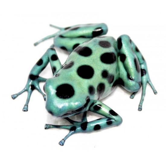 "Dendrobates auratus ""Microspot"" - Dendrobates doré"