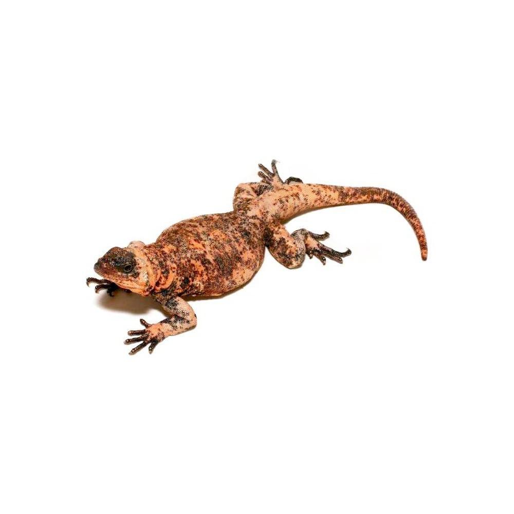 Sauromalus varius - Piebald chuckwalla
