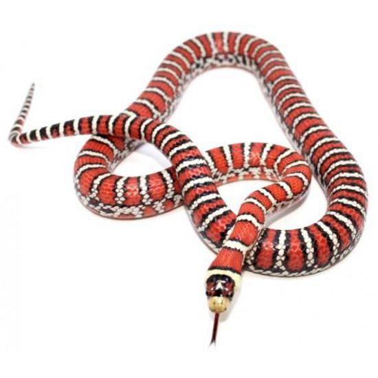 Lampropeltis (pyromelana) knoblochi - Serpent roi de Chihuahua