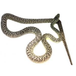 "Morelia spilota ""Granite"" - Python tapis"