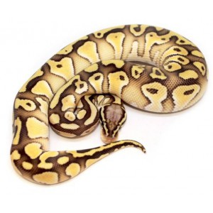 """Python regius """"Pastel Lesser het clown"""" - Python regius"""