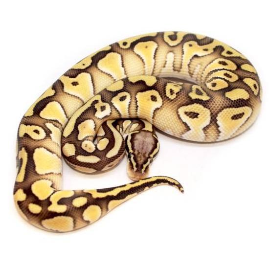 "Python regius ""Lesser Pastel het clown"" - Python royal"