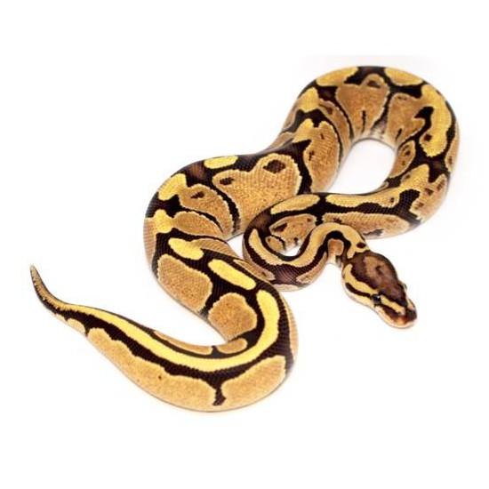 """Python regius """"Fire"""" - Python royal"""