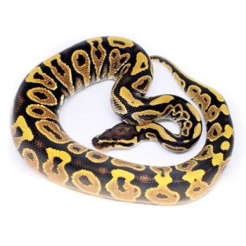 Python regius Sélection - Python royal