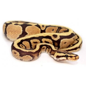 """Python regius """"Spotnose"""" - Python royal"""