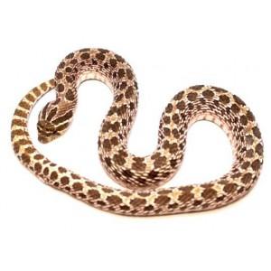 "Heterodon nasicus ""Green"" - Serpent à groin"