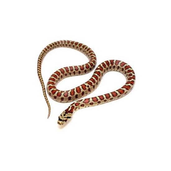 Zamenis (Elaphe) situla - Couleuvre léopard
