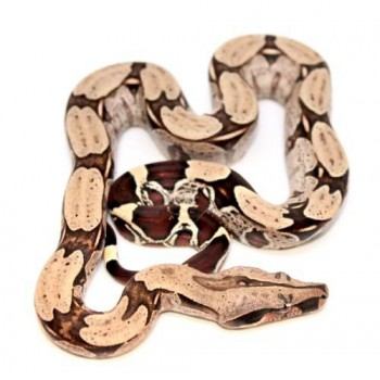 "Boa (constrictor) constrictor ""Surinam"" - Boa constricteur"