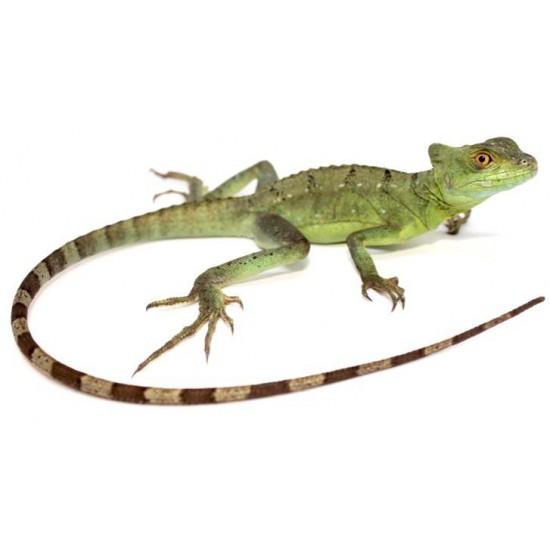 Basiliscus plumifrons - Basilic vert