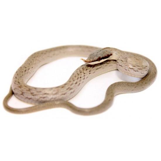 Gonyosoma (Rhynchophis) boulengeri - Serpent ratier rhinocéros