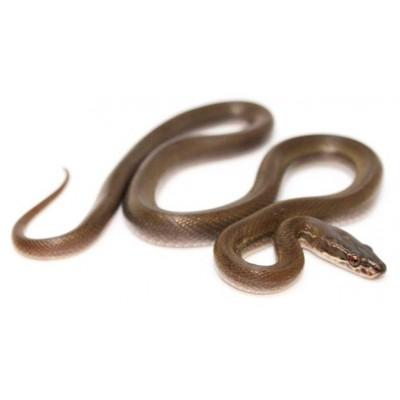 Boaedon (Lamprophis) olivaceux - Serpent des maisons
