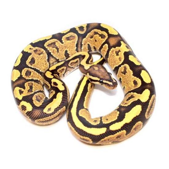"Python regius ""Fire Yellow Belly"" - Python royal"